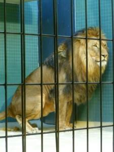A Lion having a big poo